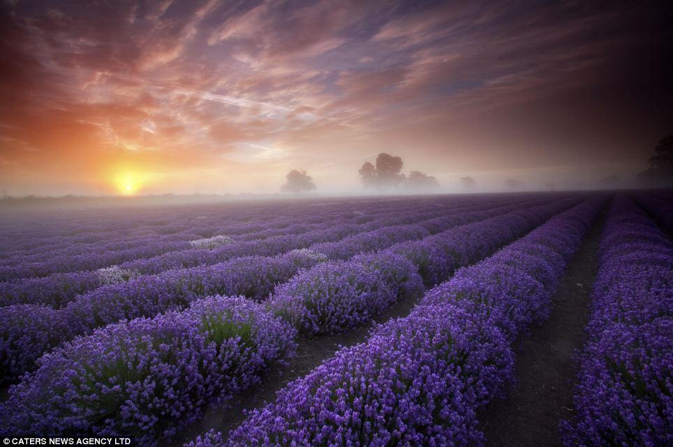 somerset-lavender-field-london